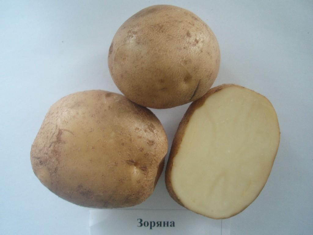 Сорт картофеля чугунка с фото