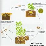цикл розвитку Alternaria solani