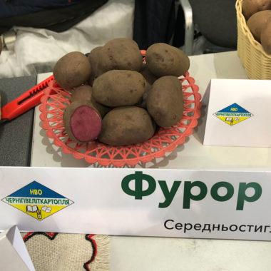 Фурор - середньостиглий сорт картоплі столового призначення