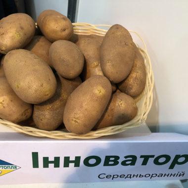 Інноватор - голландський середньоранній сорт картоплі столового призначення.