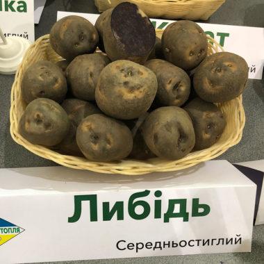Либідь - середньостиглий сорт картоплі столового призначення