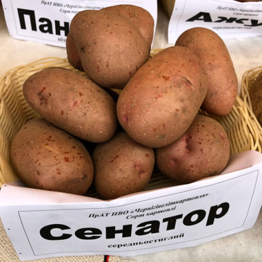 Сенатор - середньостиглий сорт картоплі столового призначення
