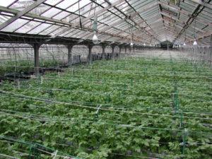 оздоровлені рослини картоплі